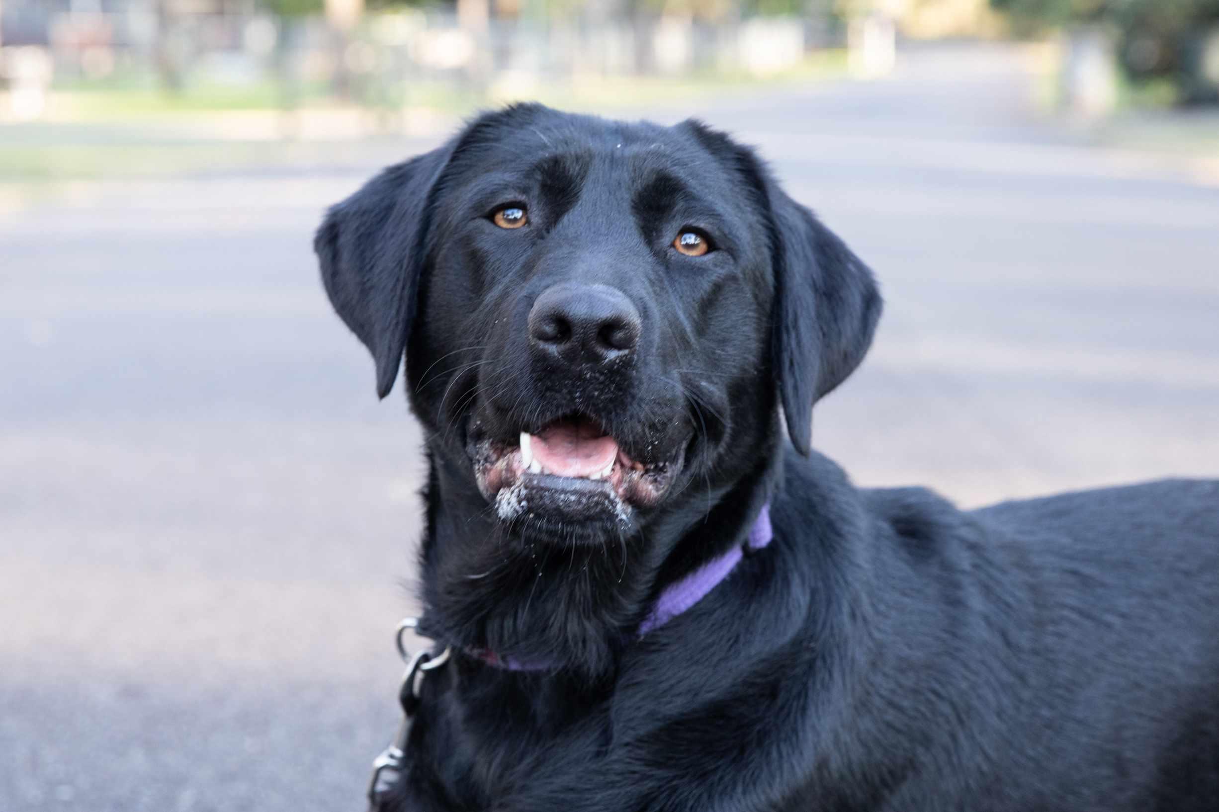 Black labrador retriever dog with purple collar and mouth open closeup