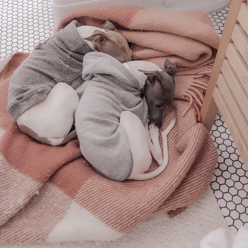 Two Italian greyhound dogs wearing sweatshirts and curled up next to each other on a pink blanket.