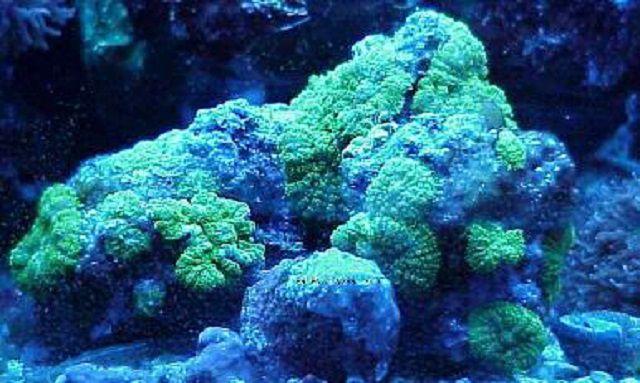 Fluorescent Green Mushroom Corals