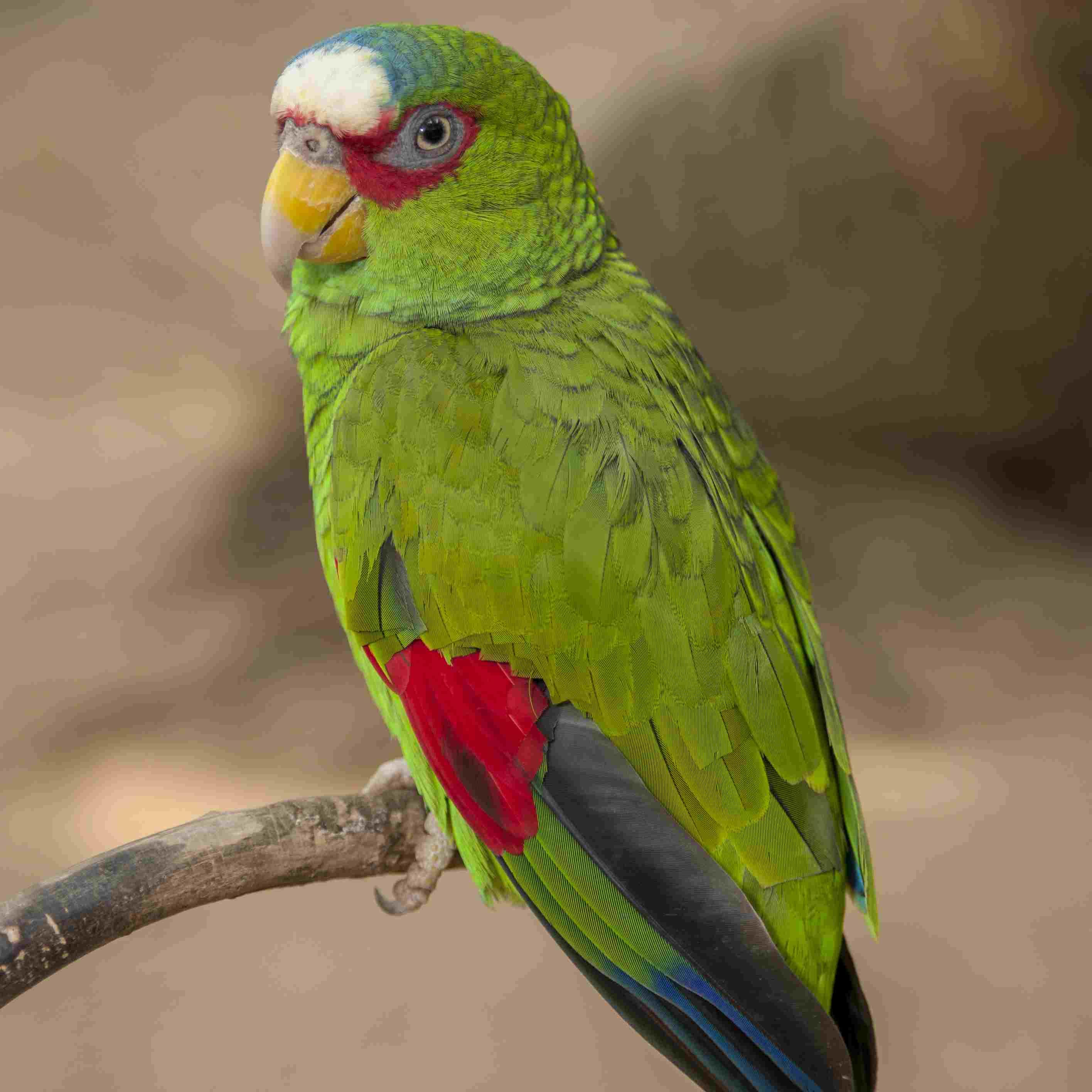 10 Top Amazon Parrot Species As Pets