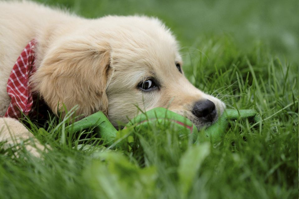 puppy laying in the grass rabies