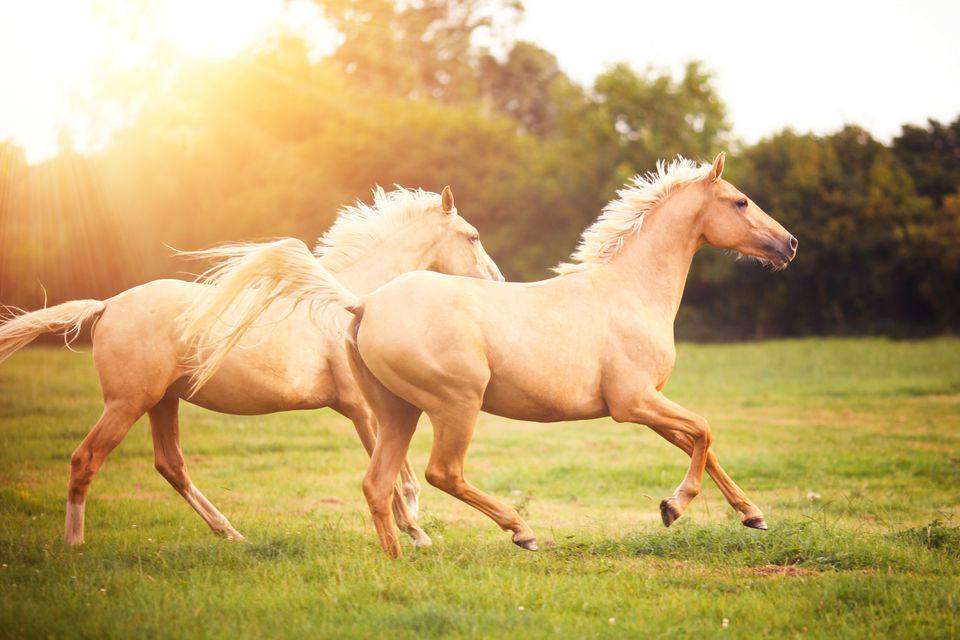 Palomino horses cantering in a field