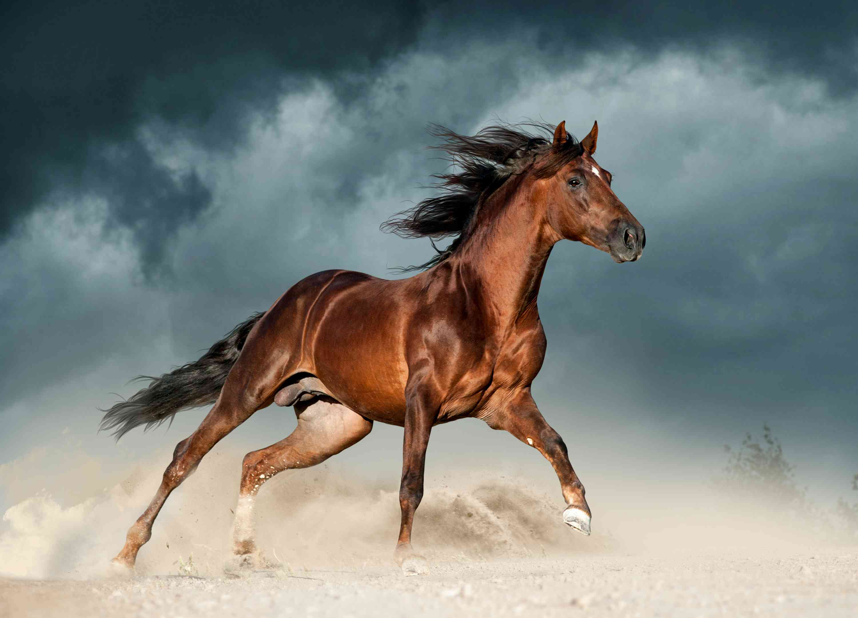 Chestnut Andalusian cantering in a desert setting