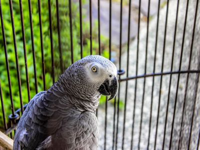 African Grey Parrot Vocabulary