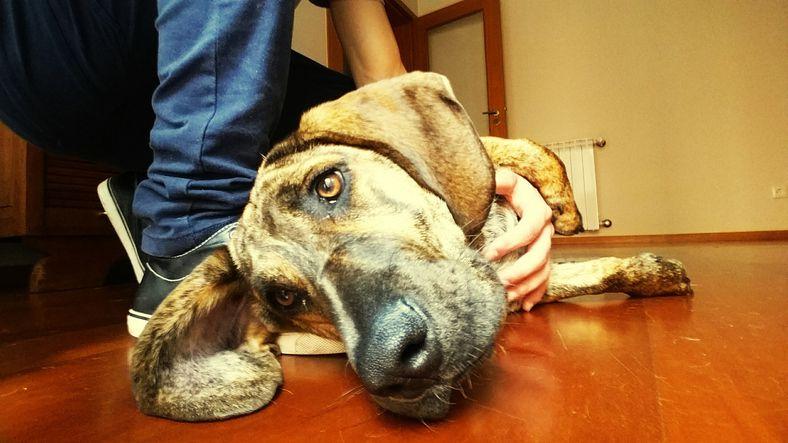Triste perro acostado en el piso, acariciado por el dueño