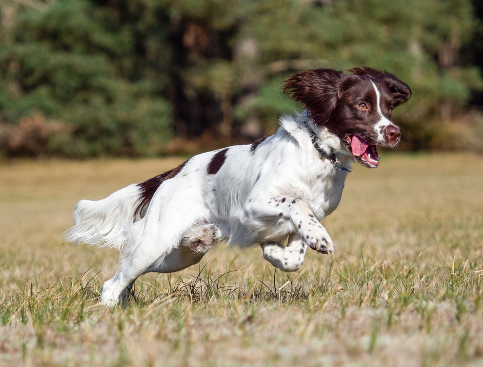 English Springer Spaniel running in a field
