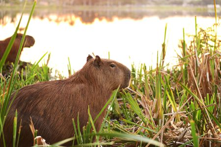 How to Take Care of Capybaras