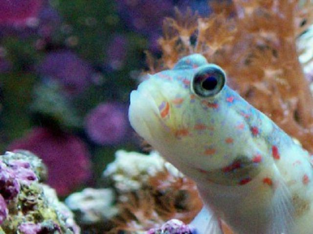 Pinkspotted Shrimp Goby