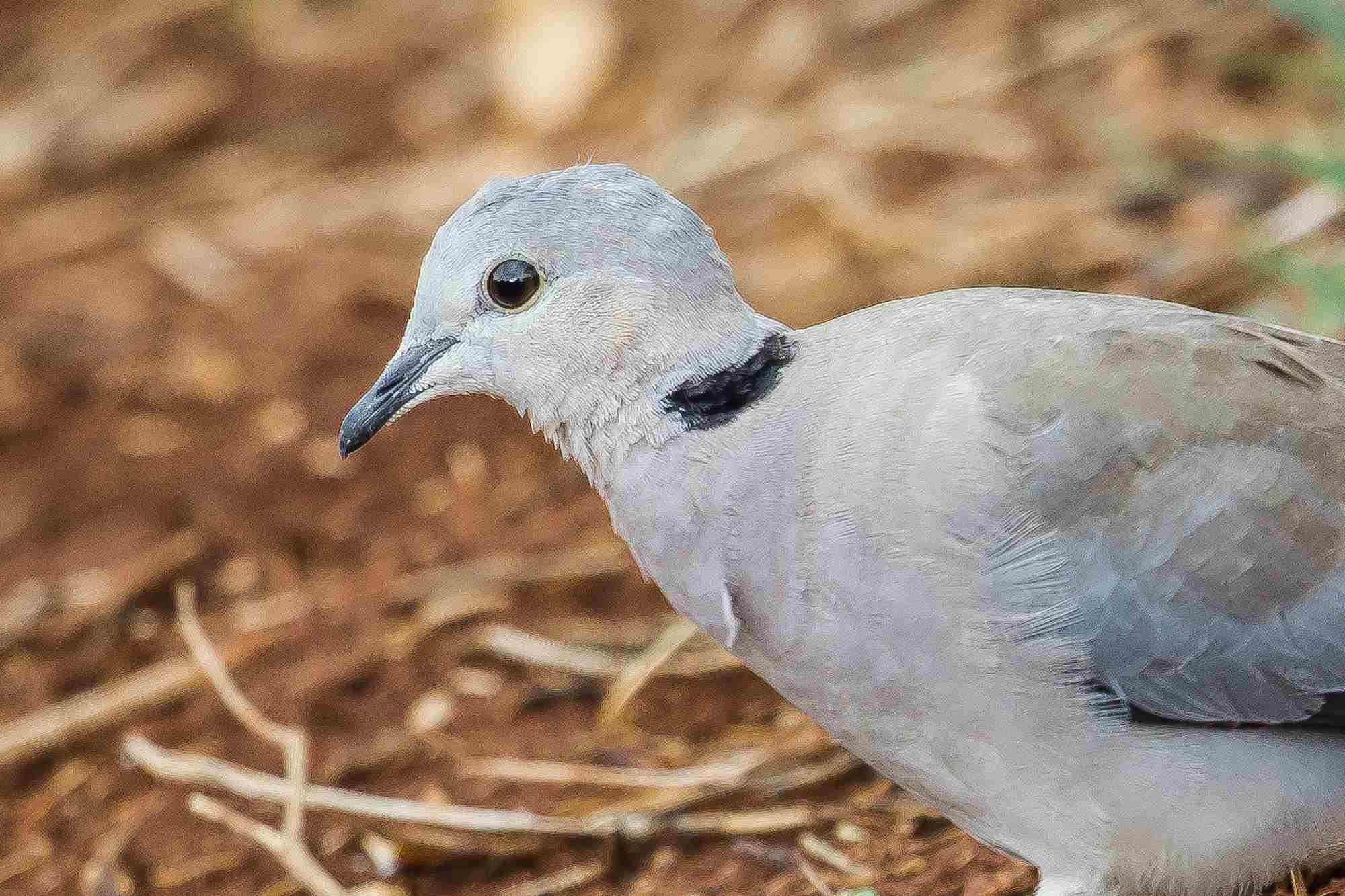 Ring-necked dove on the ground