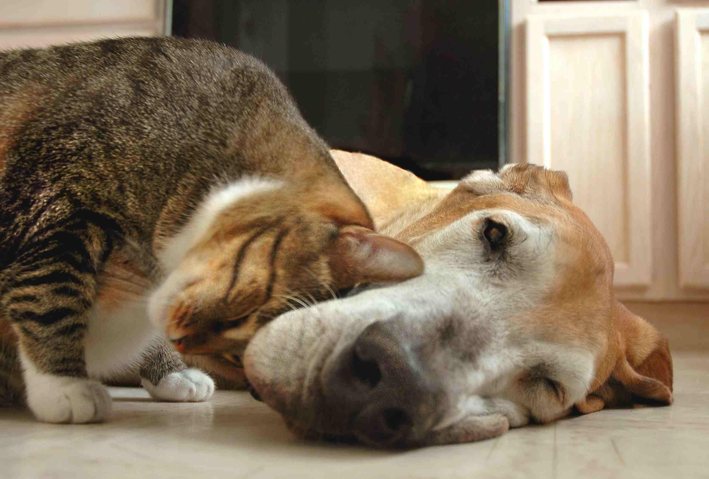 Tabby cat rubbing a Great Dane lying on the floor.