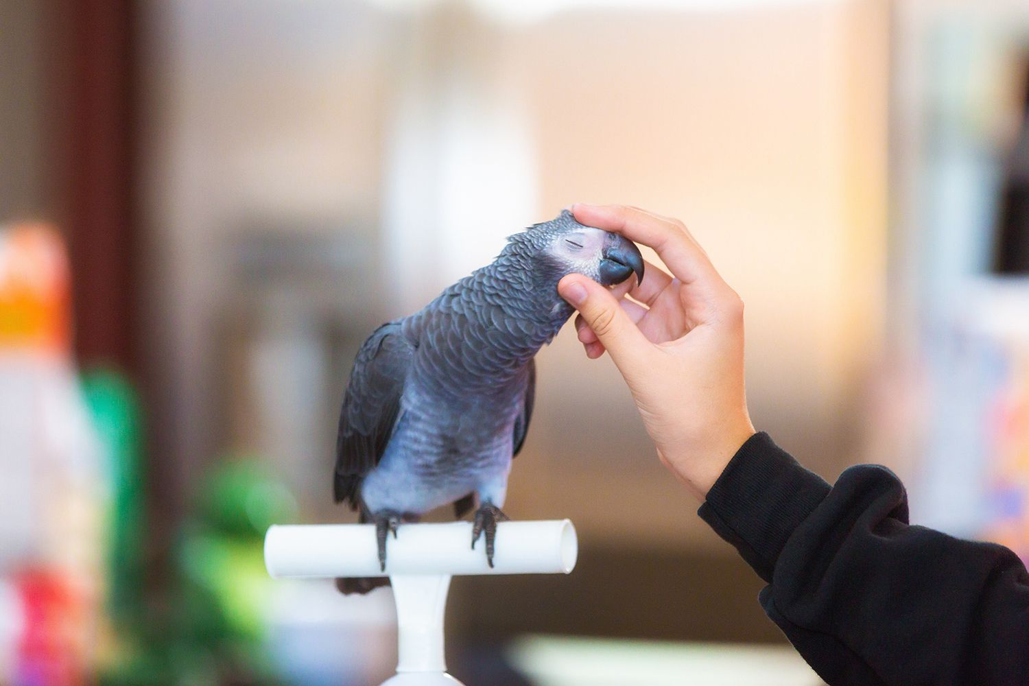 Woman petting African grey parrot