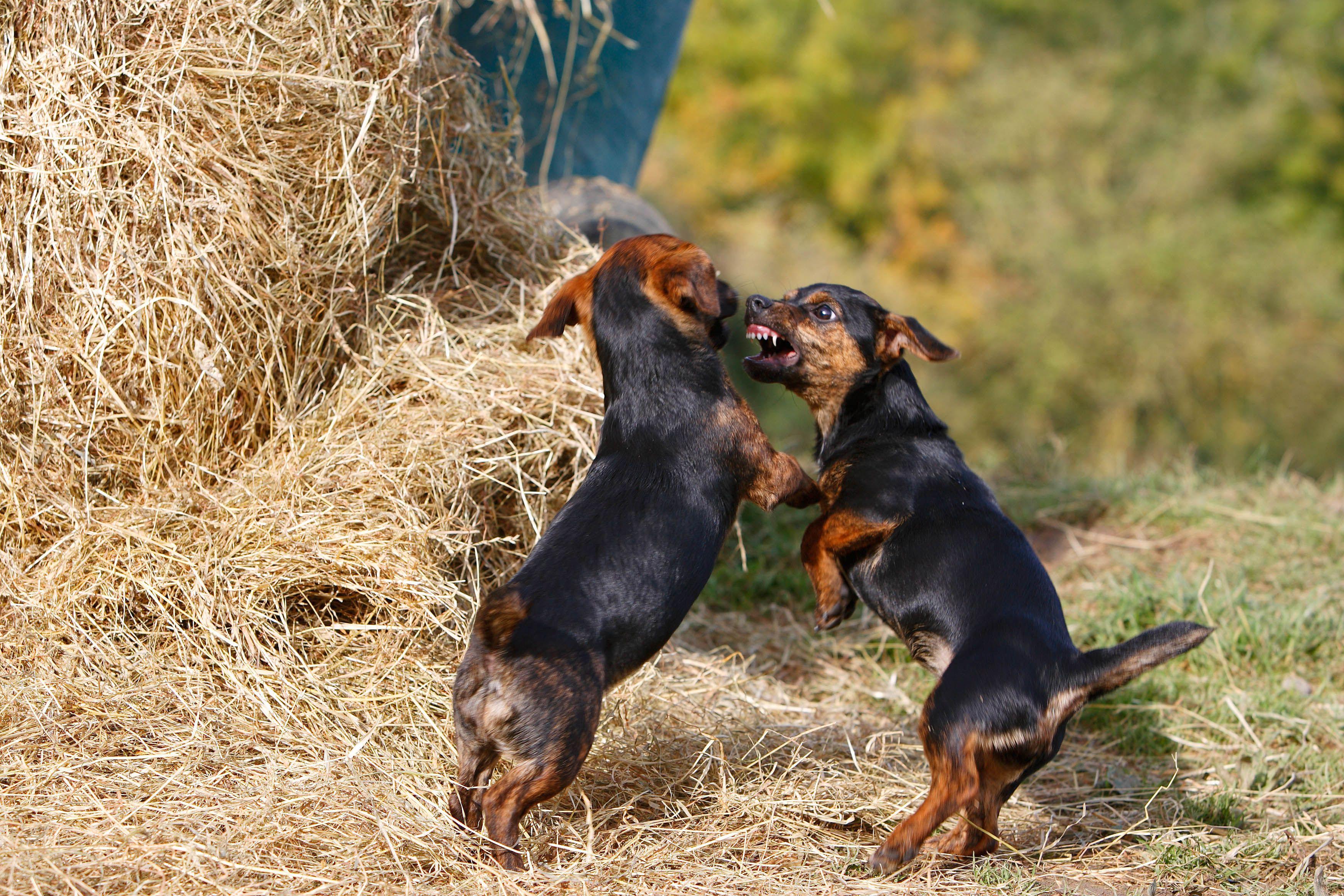 Cachorros peleando