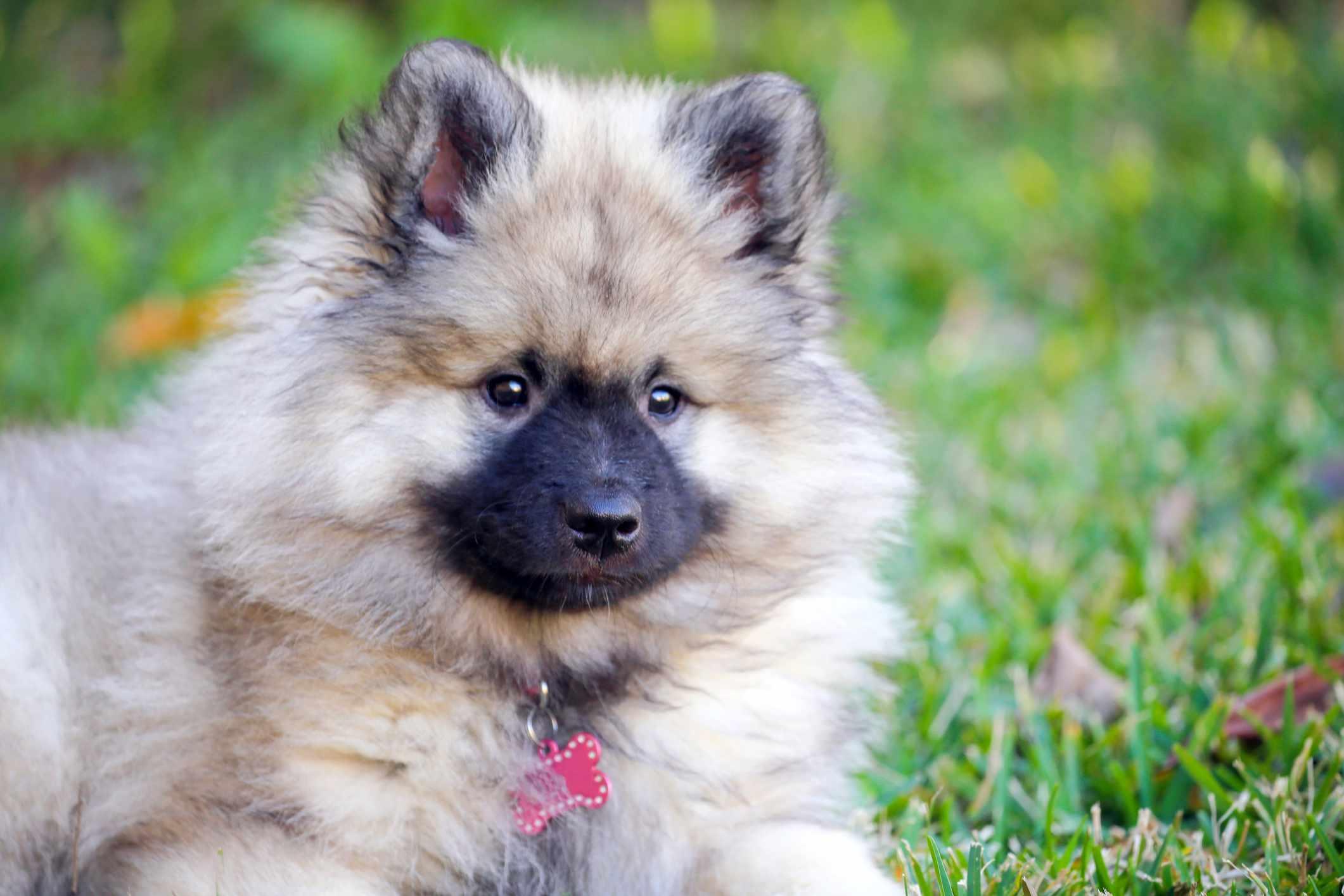 A Keeshond puppy