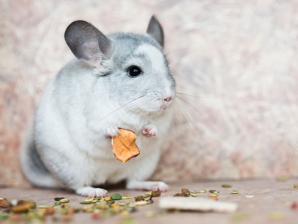 Funny face domestic chinchilla holding food with arms
