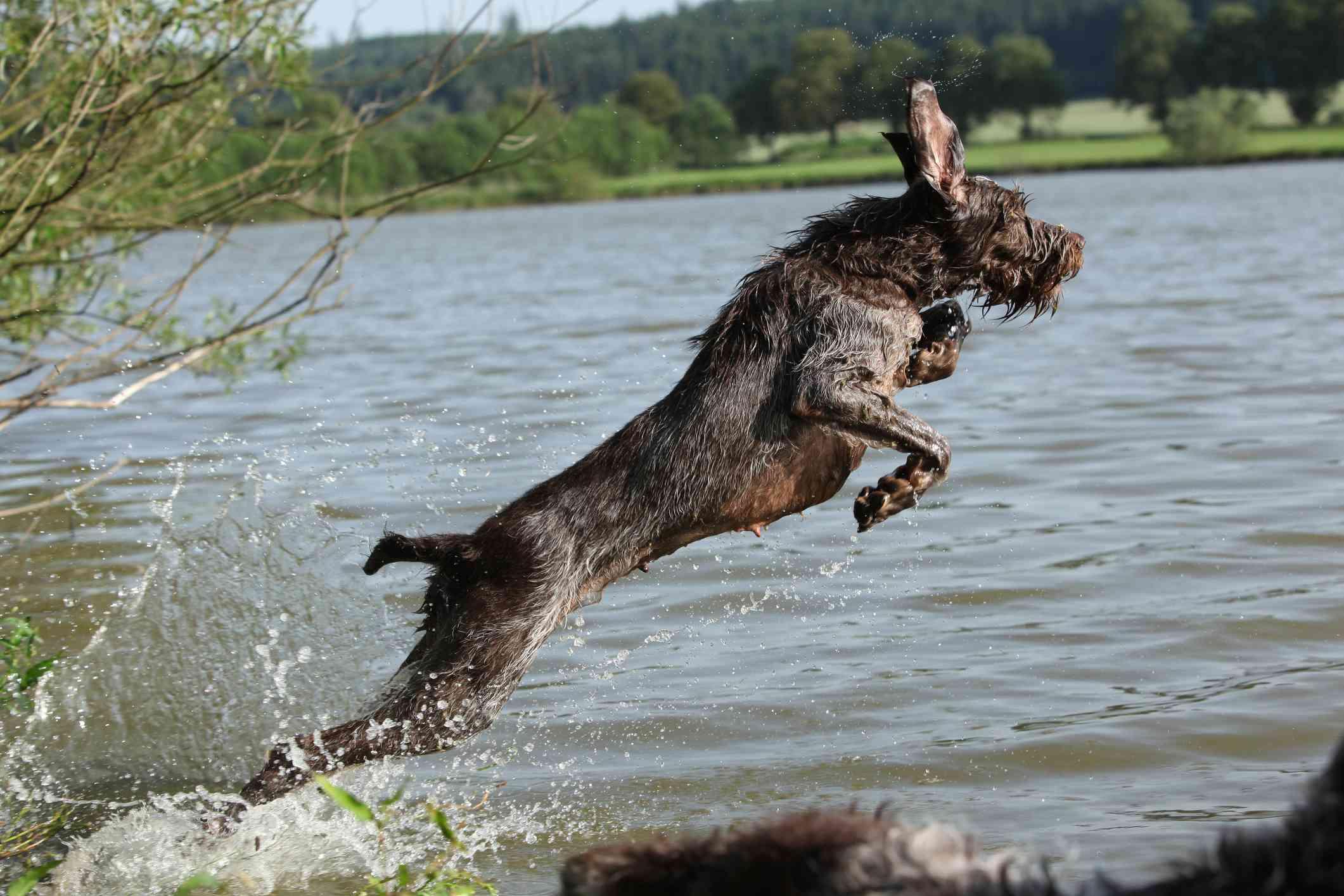 Un Spinone Italiano sumergiéndose en el agua