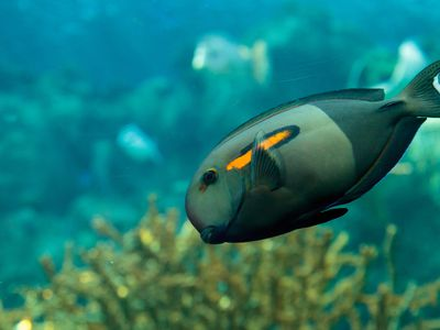 Moorish Idol Fish Breed Profile