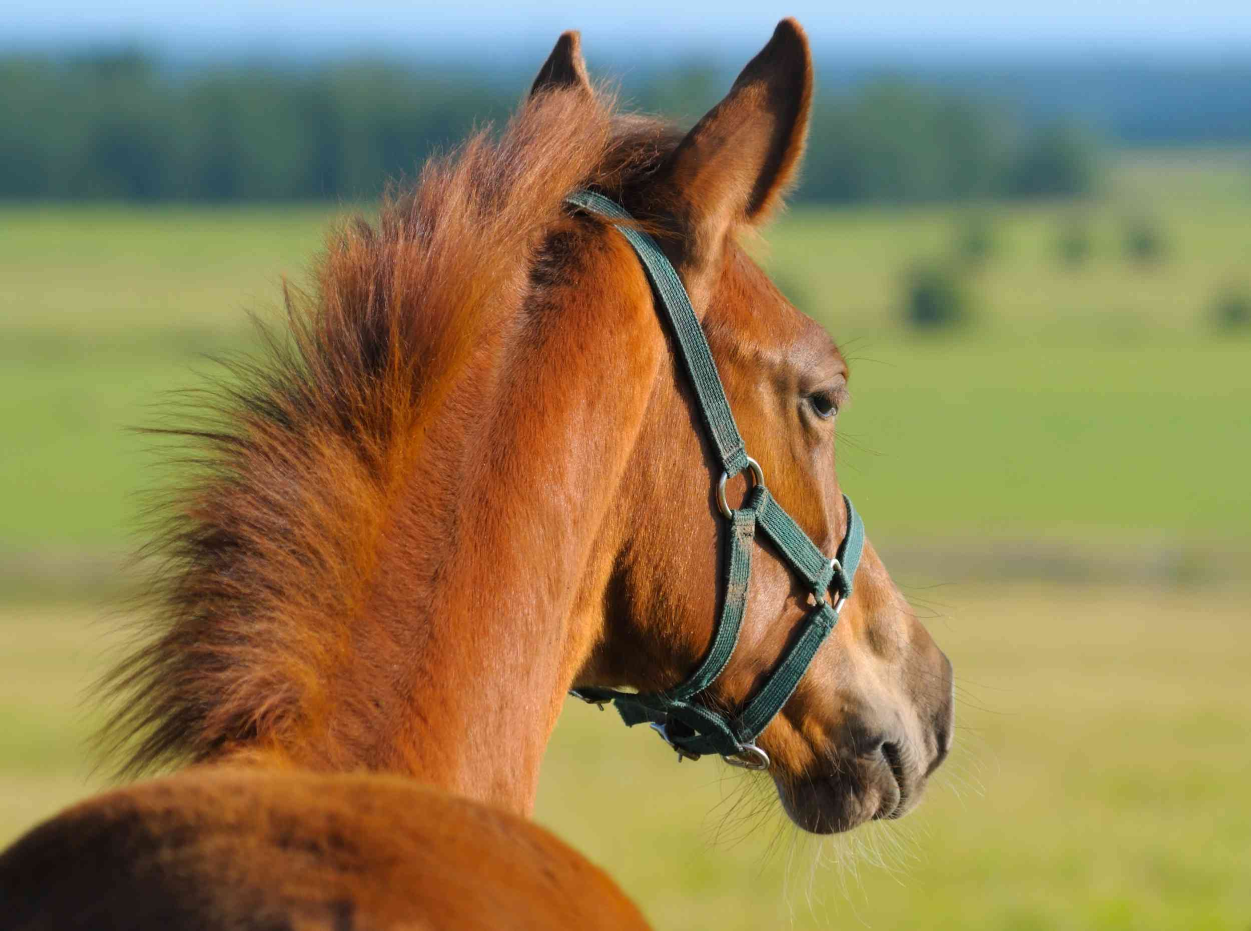 Chestnut Trakehner foal in a field