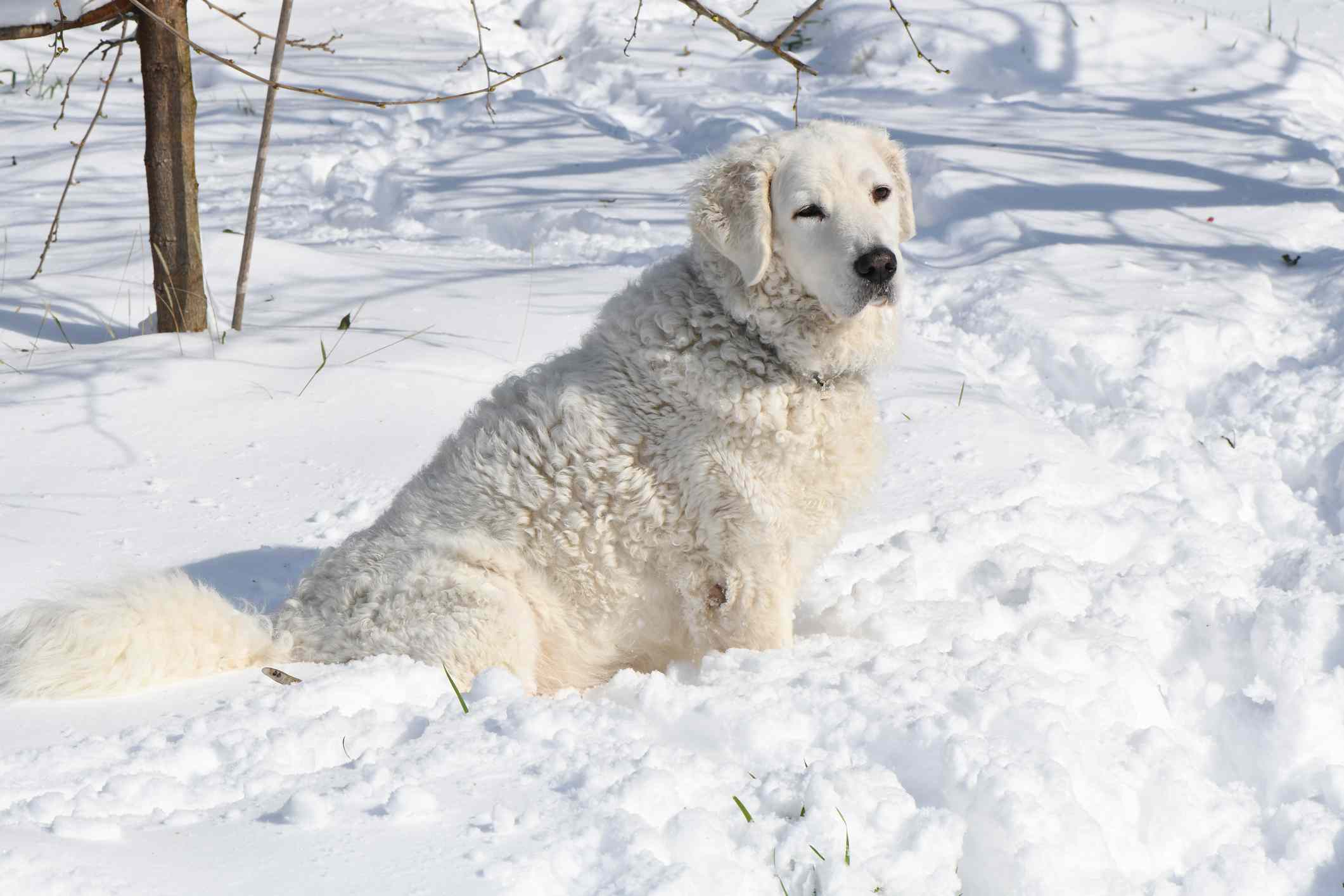A Kuvasz Dog in the snow