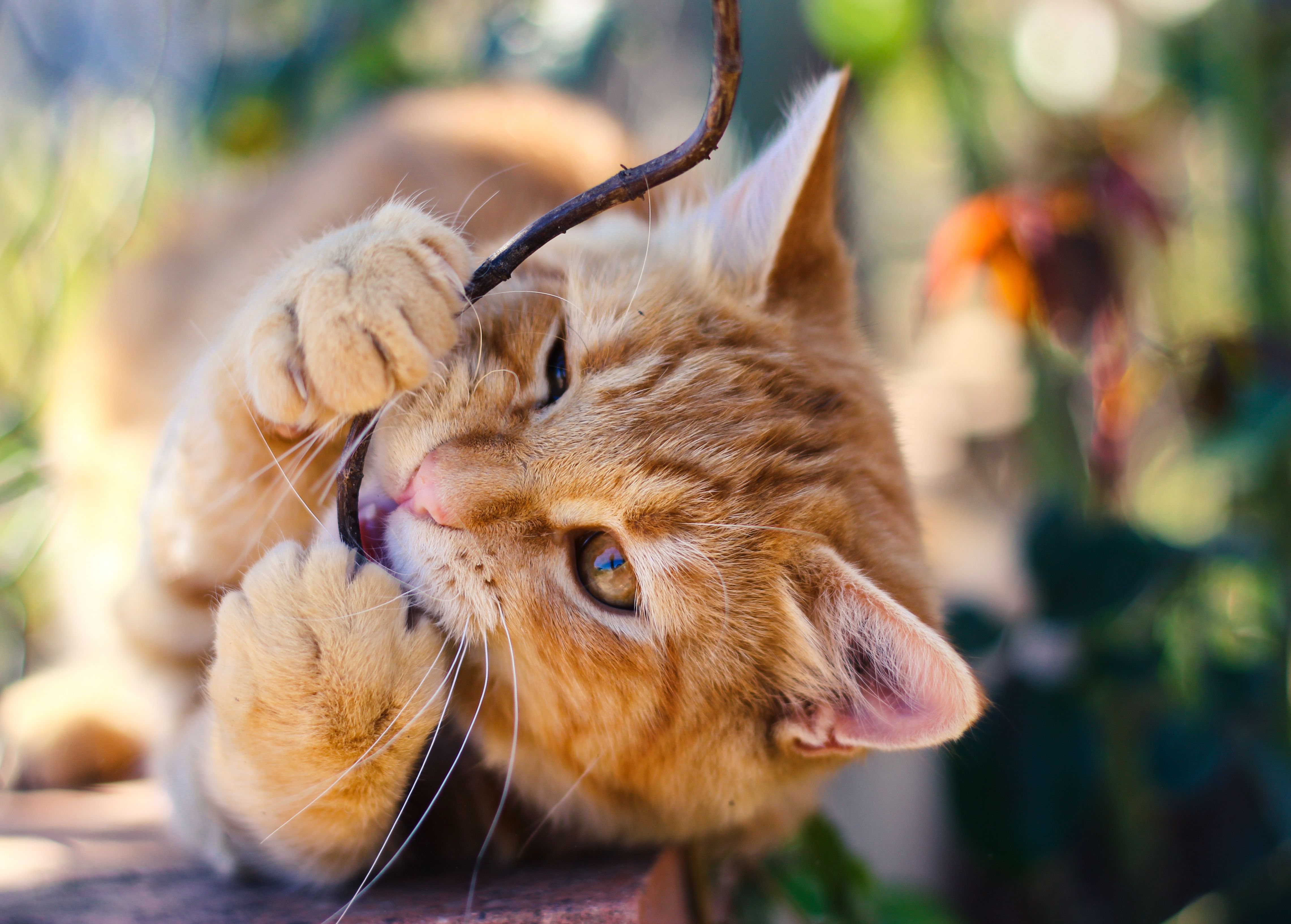 Curbing Destructive Chewing by Cats and Kittens