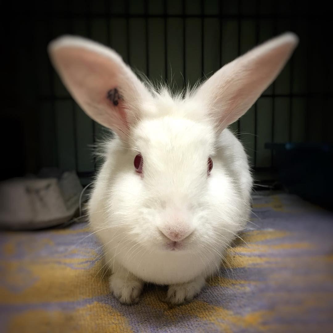 An albino rabbit.
