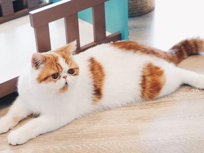 American Shorthair Tuxedo Cat Breeds