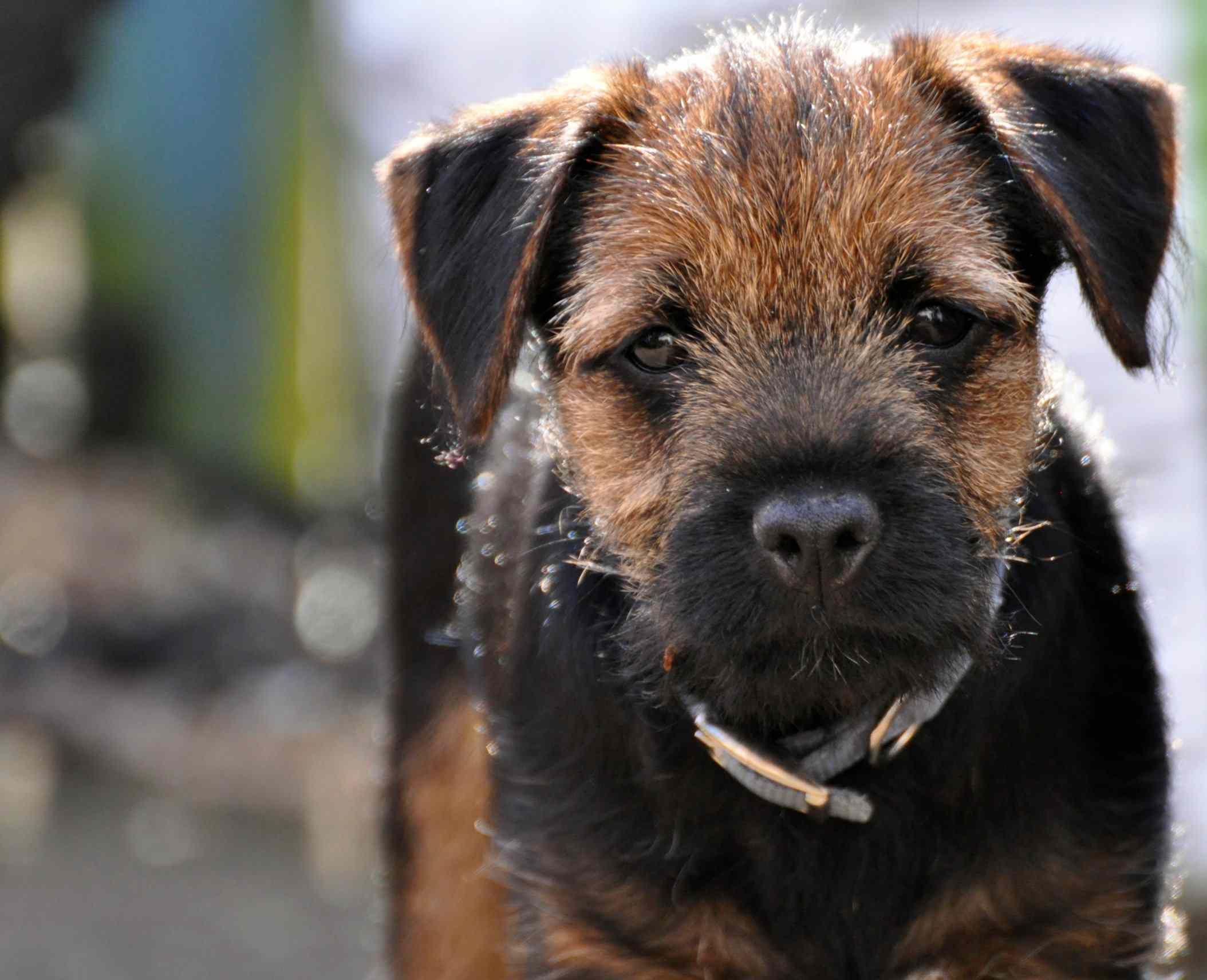 Border Terrier Puppy profile