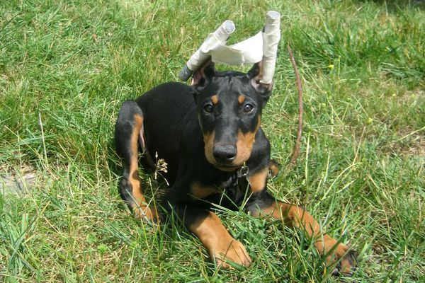 A doberman puppy with freshly cropped ears