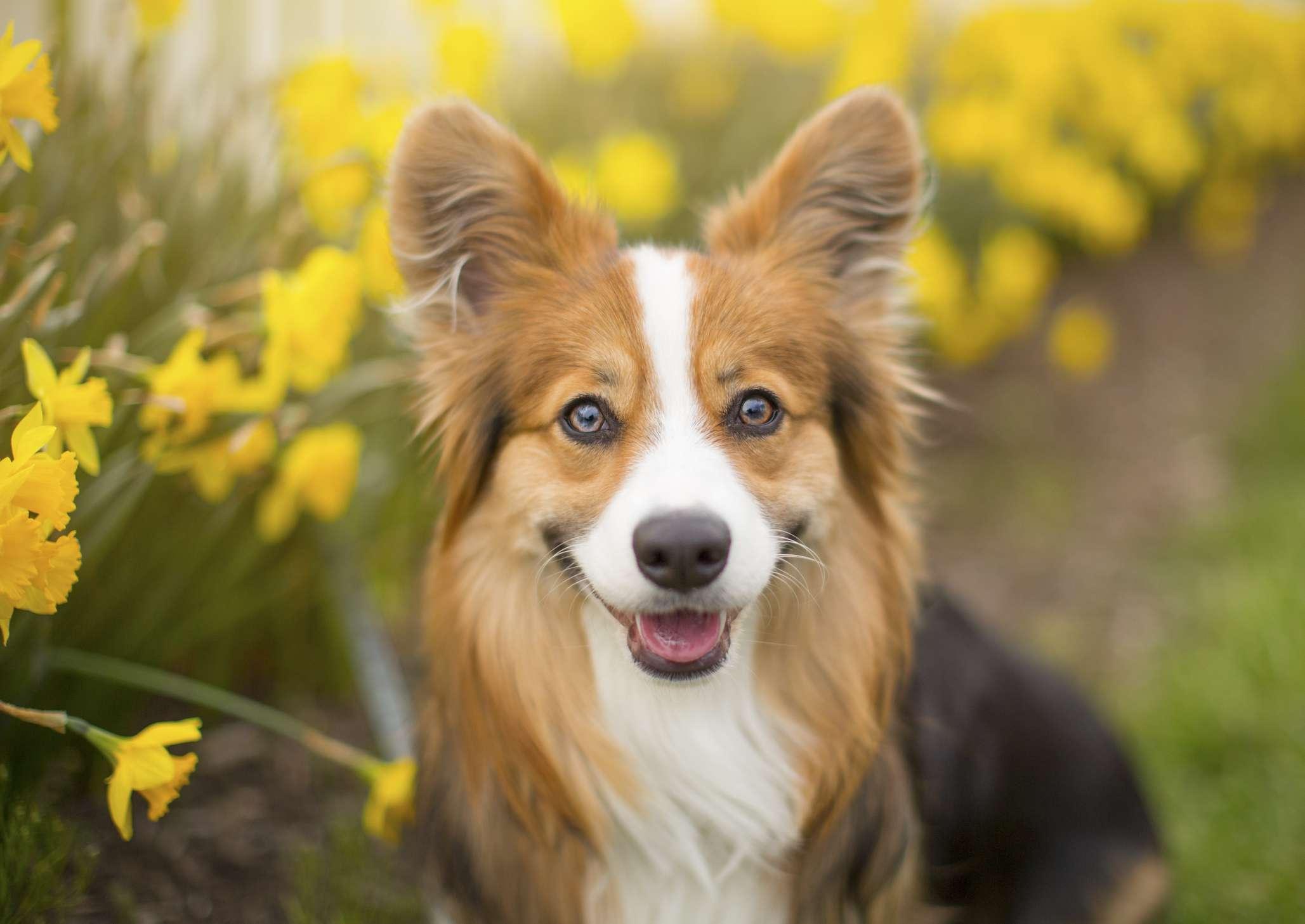 Corgi dog with daffodils in background