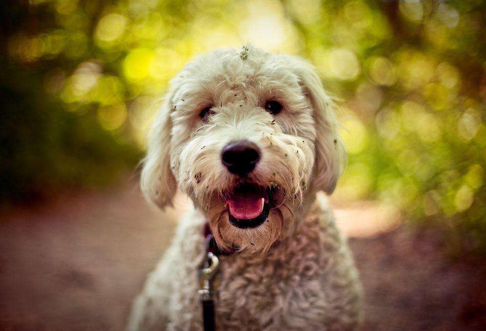 Portrait of golden doodle