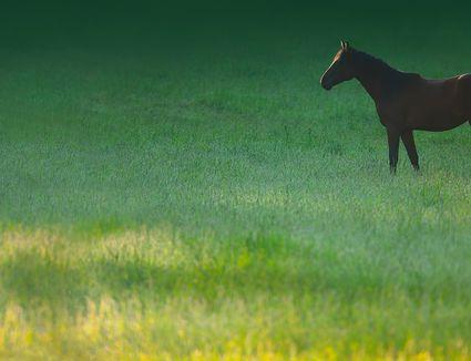Horse grazing in grassy meadow