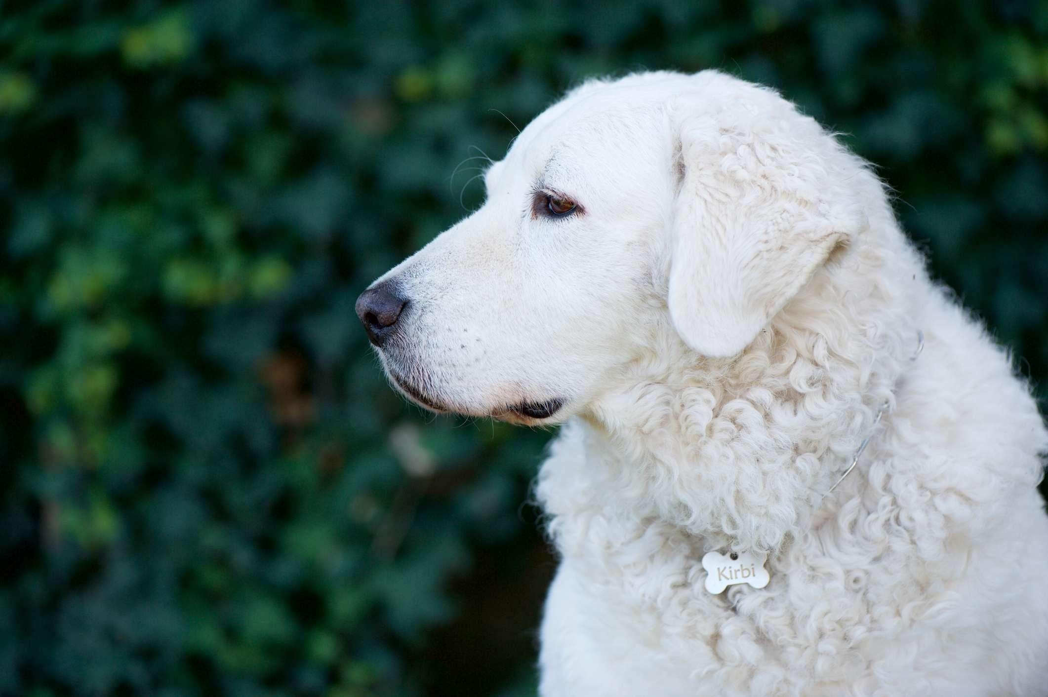 Kuvasz Dog Profile