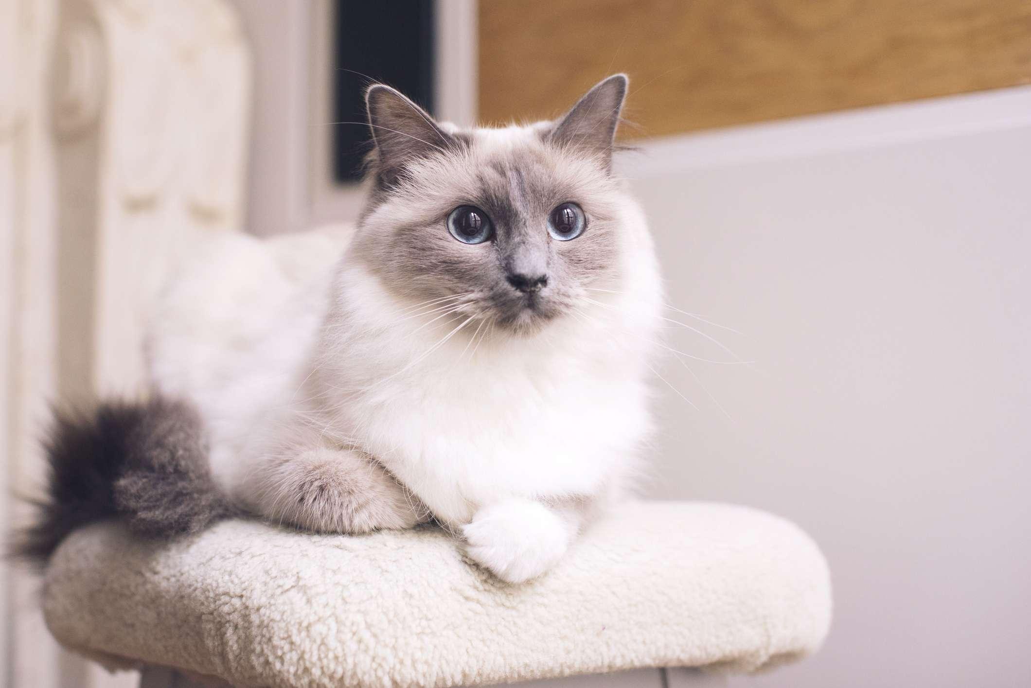 Un gato blanco y esponjoso con marcas grises en la cola, las orejas y la cara sentado en un árbol de gato blanco