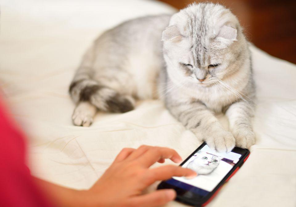Gatito mira y juega teléfono móvil en la cama.