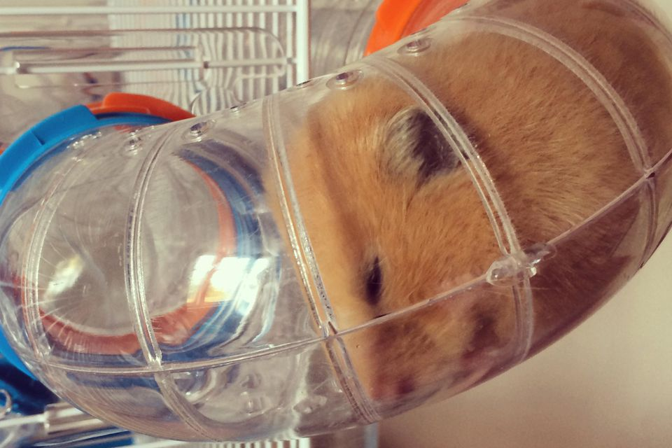 Show Us Your Hamsters!