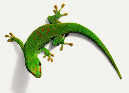 A Guide To Caring For Day Geckos As Pets