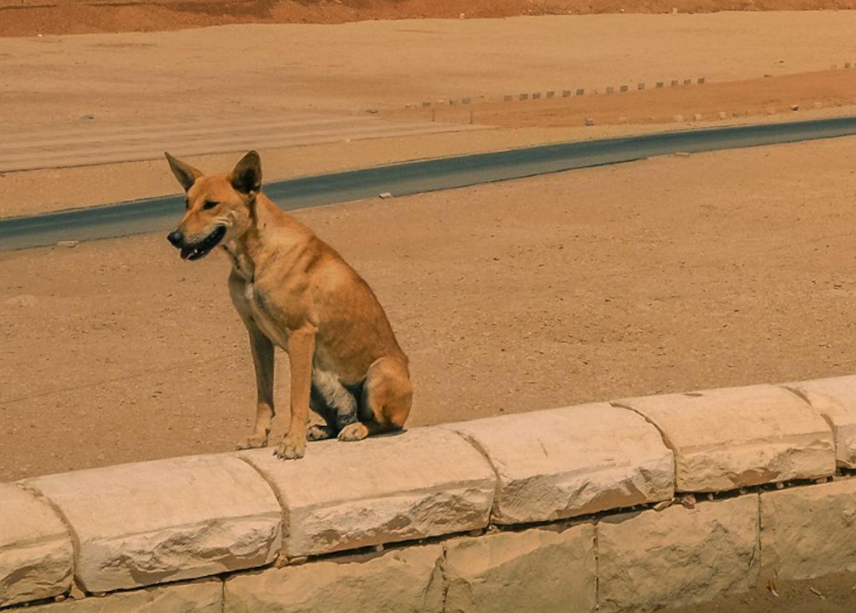 Baladi Street Dog