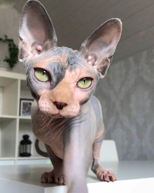 Gato sphynx multicolor