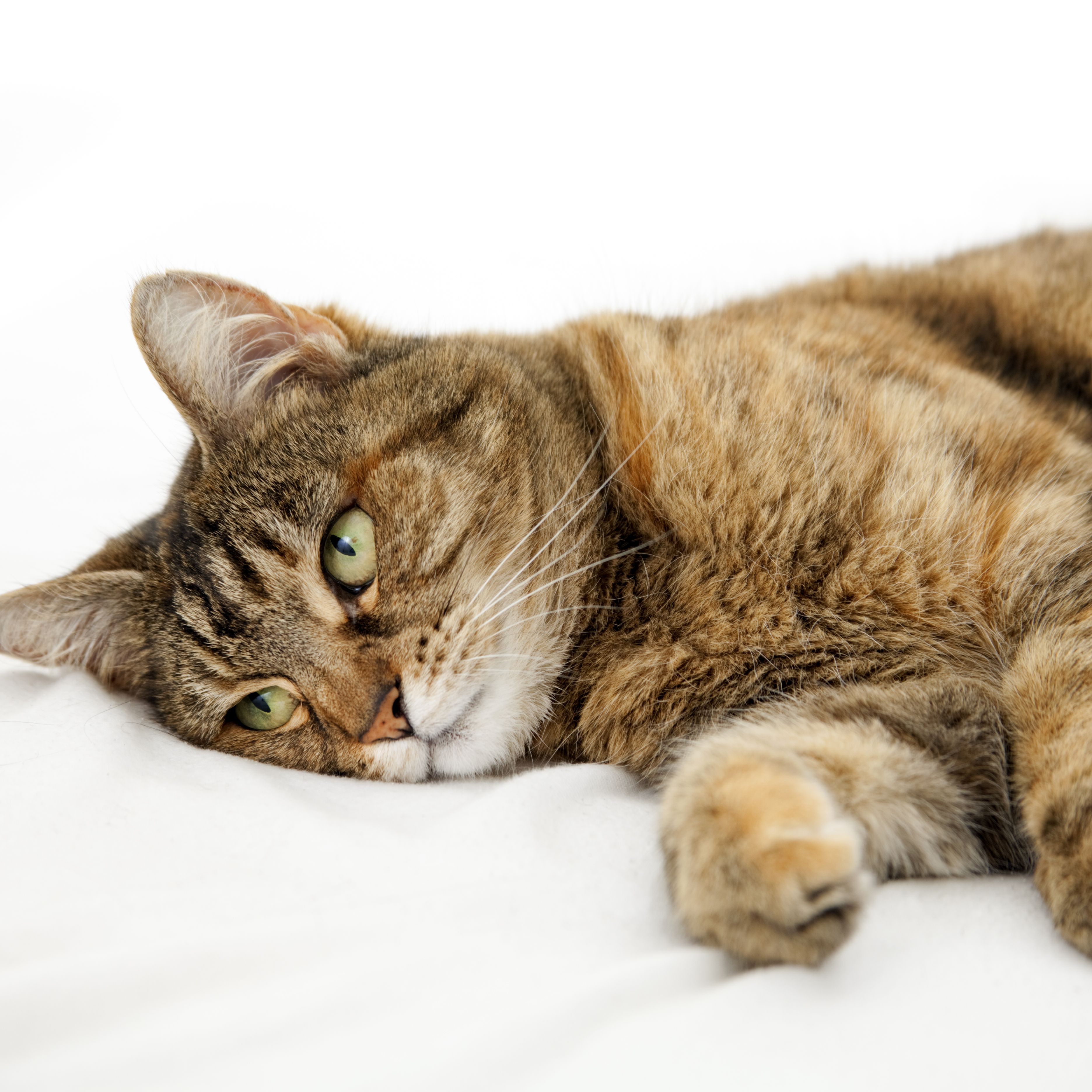 Seizures In Cats Symptoms Causes And Treatment