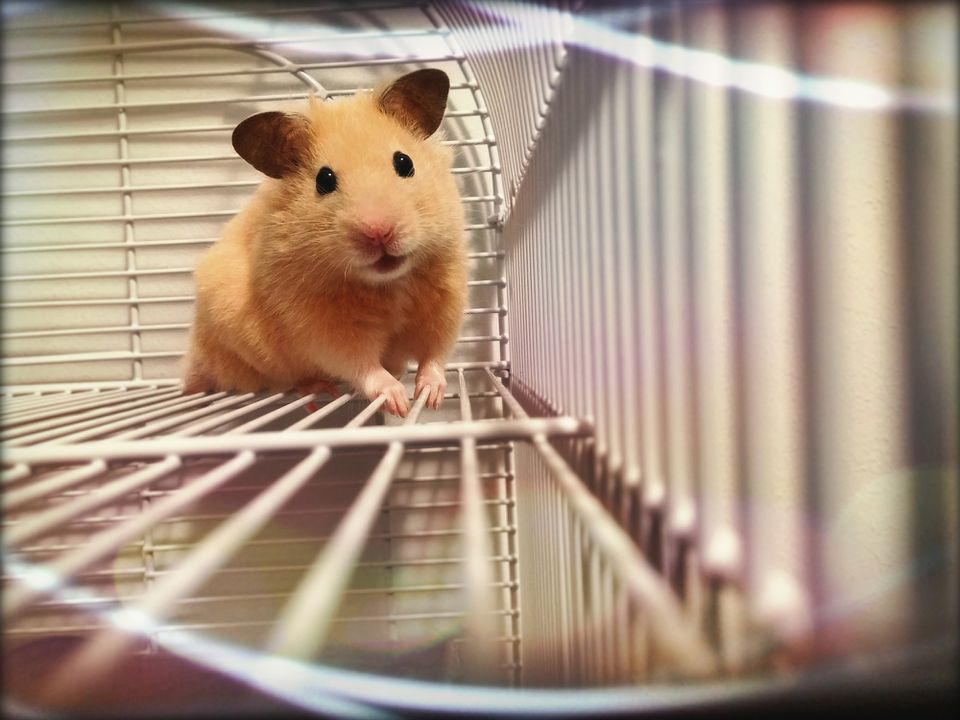Golden hamster in cage