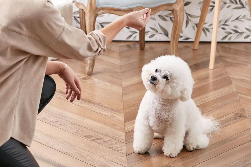 Training a Bichon Frise to sit