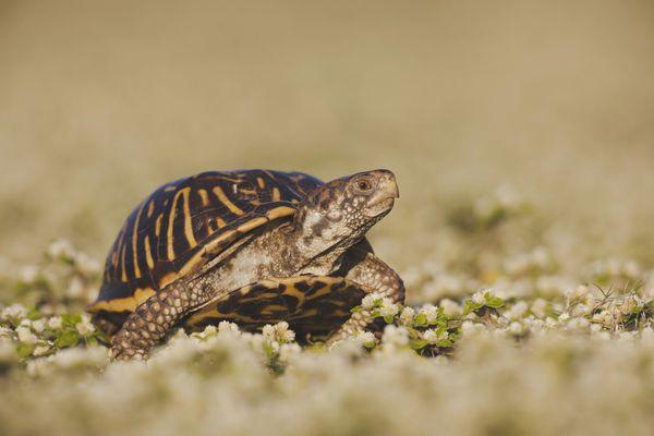Ornate Box Turtle (Terrapene ornata)