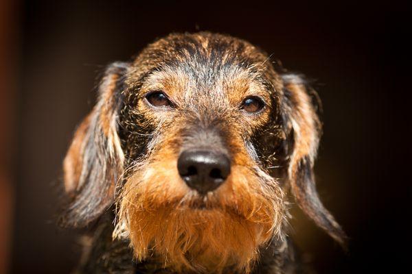 Wire Haired Dachshund profile shot