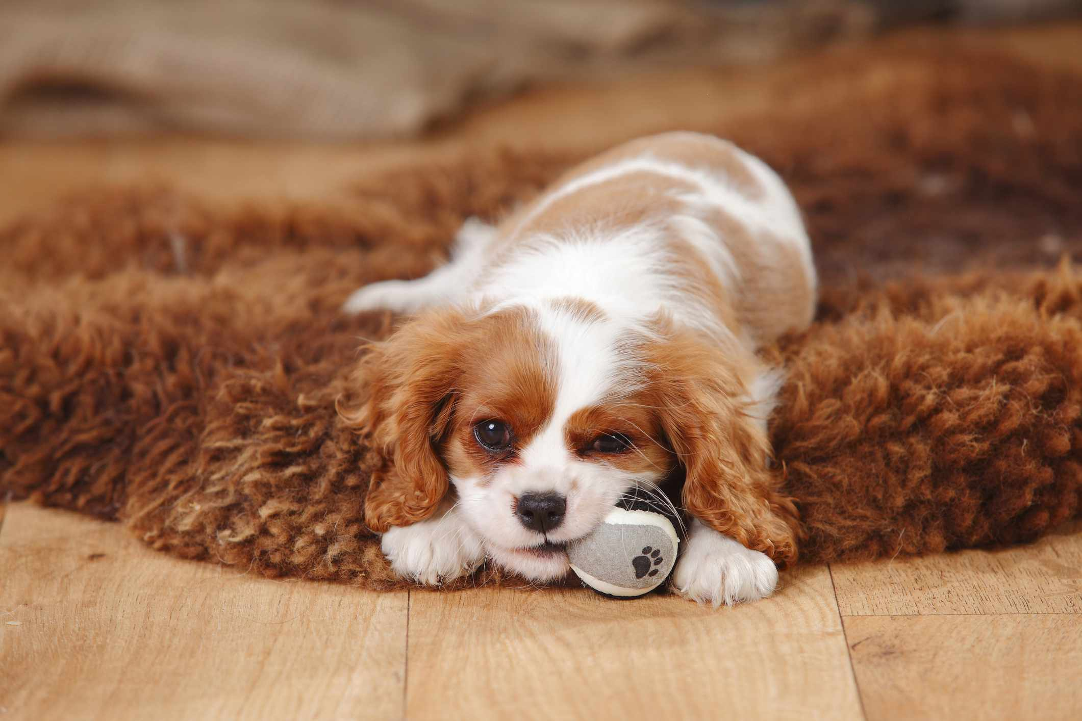 Brown and white Cavalier King Charles Spaniel chewing on tennis ball on top of rug.