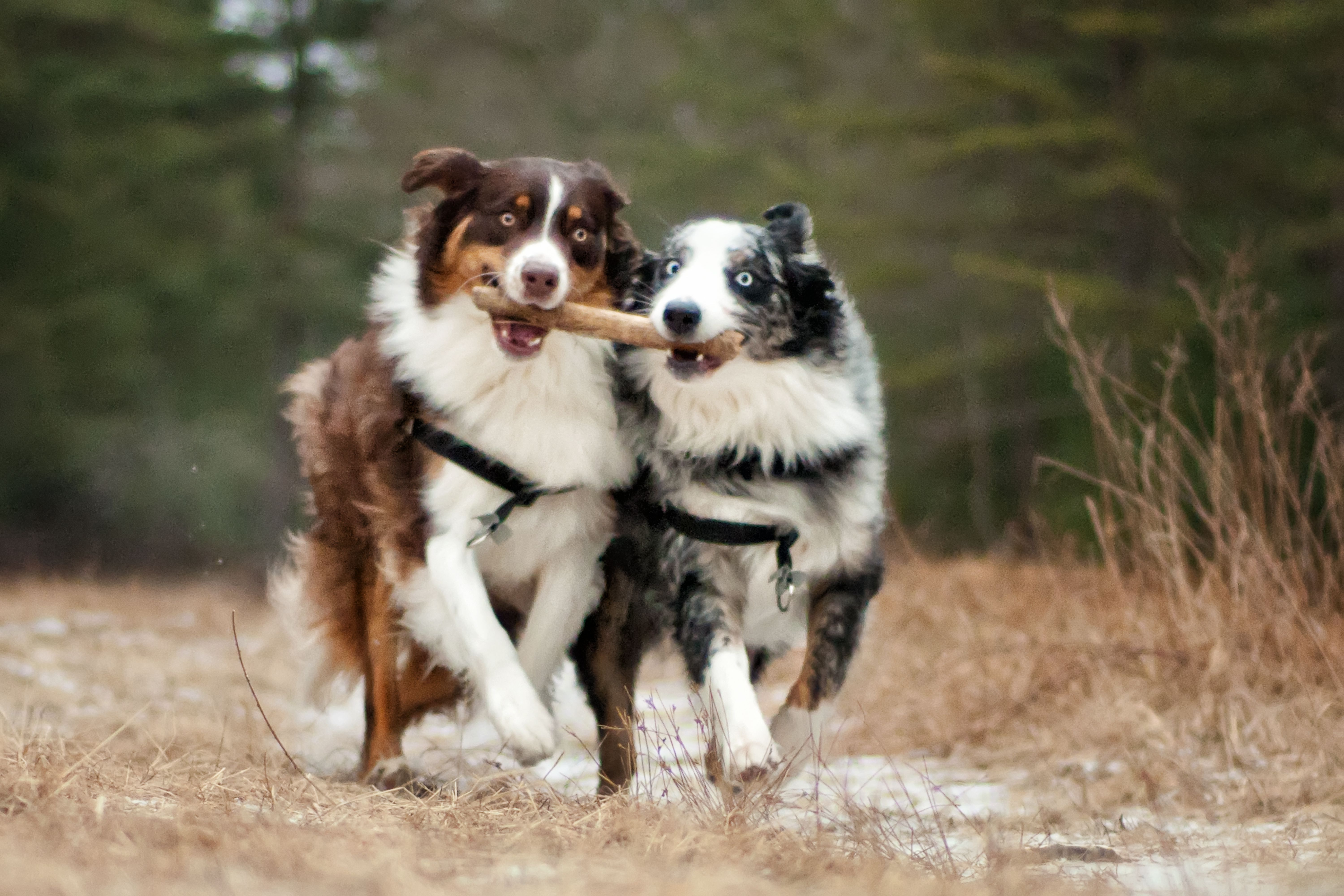 two dogs walking in step holding a stick