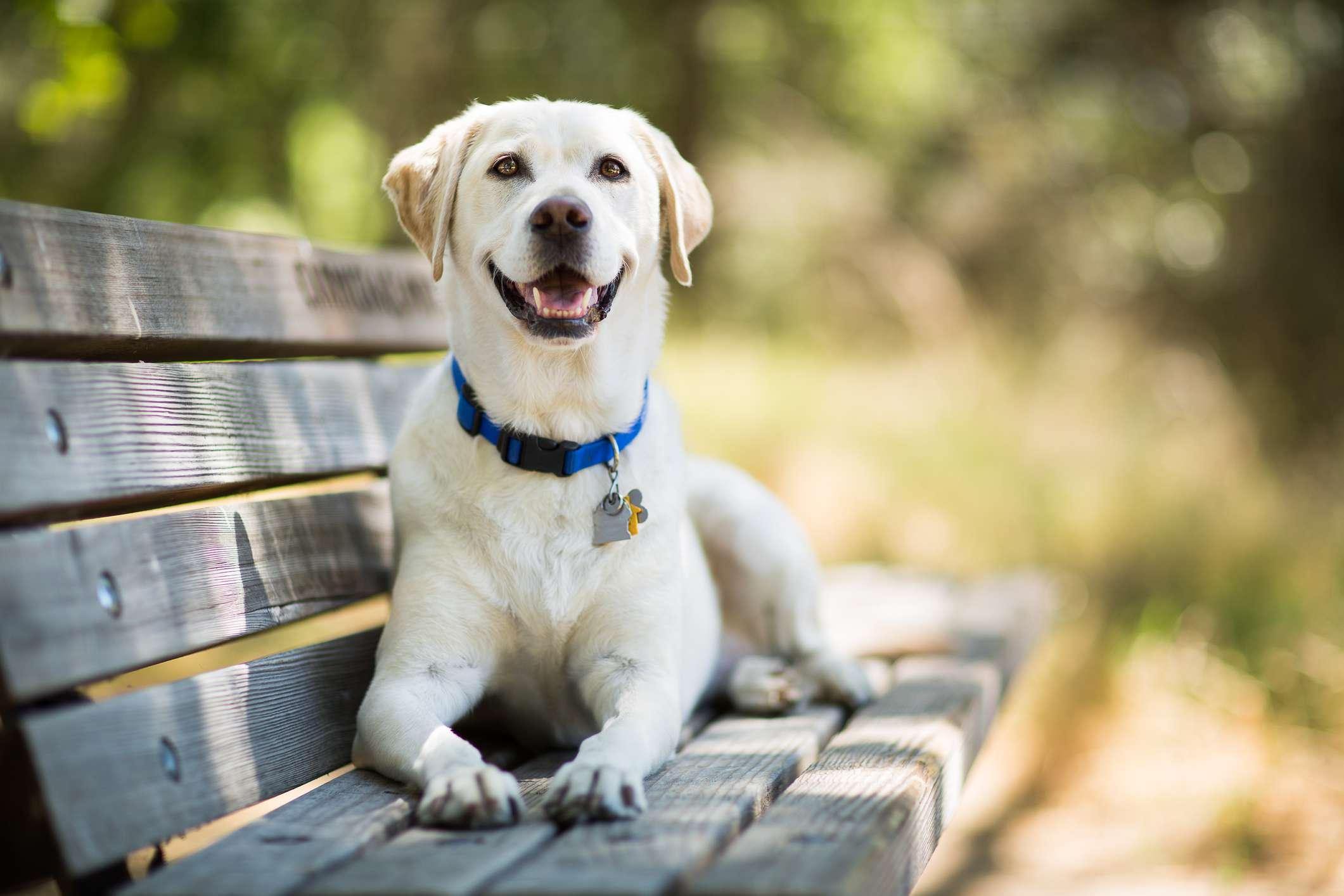 yellow Labrador retriever on bench