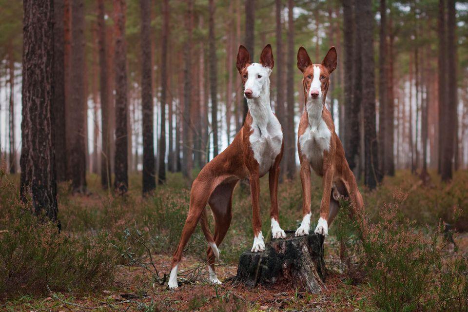 Dos sabuesos ibicencos en maderas