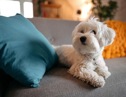 Maltese on grey couch,