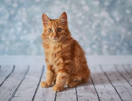 An orange American bobtail cat.