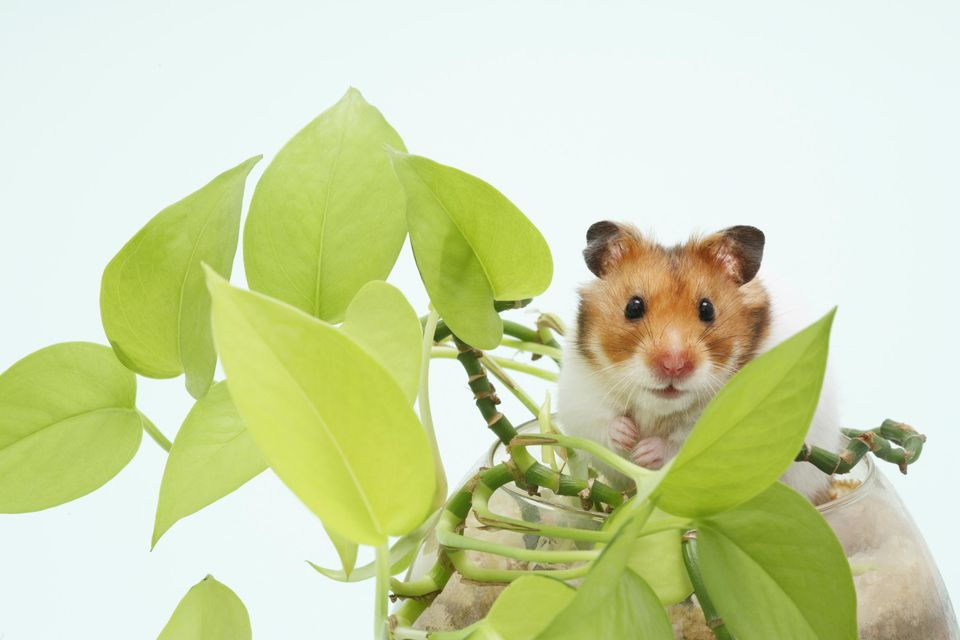 Syrian hamster (Mesocricetus auratus) in pot with plant, studio shot