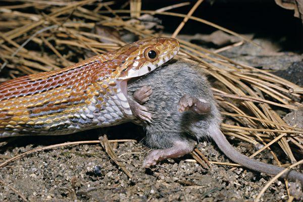 Corn snake eating